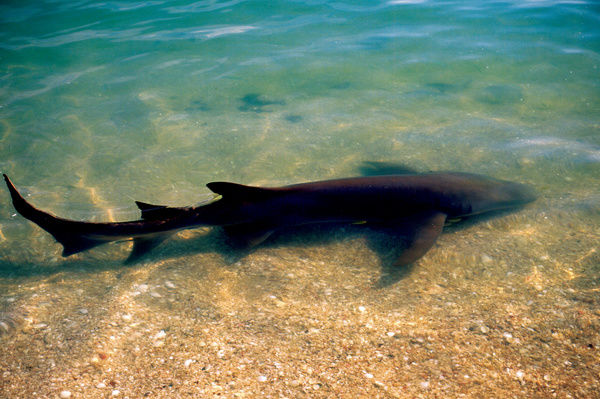 A colour image of a brown shark swimming in the shallows of a sandy beach cove in Western Australia. This image was shot while filming 'The Edge of the World' 1998