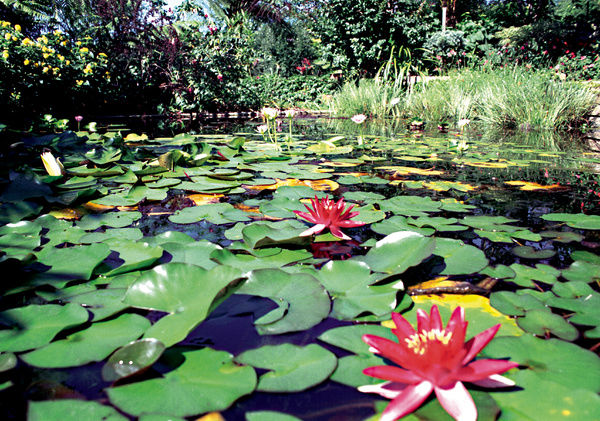 A colour image of a large lilypad pond with grasses and plants surrounding the perimeter of the area. The lotus flower, or Nelumbonaceae is also featured in the image, with two bright red flowers in the foreground
