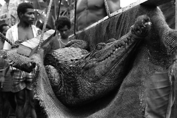 A black and white image of a large, muzzled, freshwater crocodile, which is being weighed at a crocodile farm in Papua New Guinea. The crocodile is cradled midair in a hessian (burlap) sack which is firmly attached to wooden planks and a rope