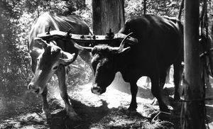 A black and white image of two yoked bullocks hauling logs.