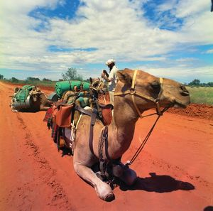 A camel train stops for a rest on red dirt road in the outback.