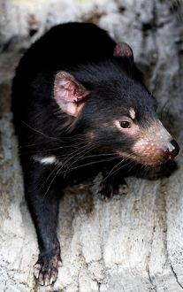 Close up of a black Tasmanian Devil emerging from a tree stump
