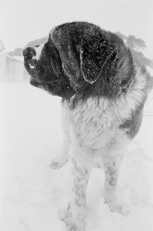 A close up, black and white portrait of a Saint Bernard dog. To Run