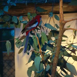 A Crimson Rosella parrot perches on a leafy, gum tree branch.
