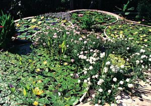 Flowers and lilypads. Waterplants in Australia, 1990