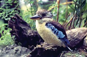 A Kookaburra (tree kingfisher) perches on an old log in the bush