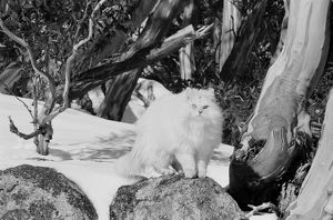 A large, white long-haired cat sits on a rock in the snow. To Run