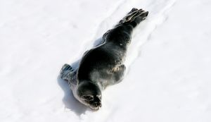 A full length, colour image of a grey and black Weddell Seal.