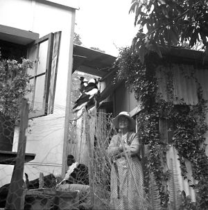 An old woman watches two magpies perched on a fence in a garden.