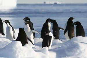 Penguins on an Icebreg. Mawson: Life and Death in Antarctica.