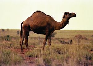 Profile of a humped, brown camel standing in a desert landscape.