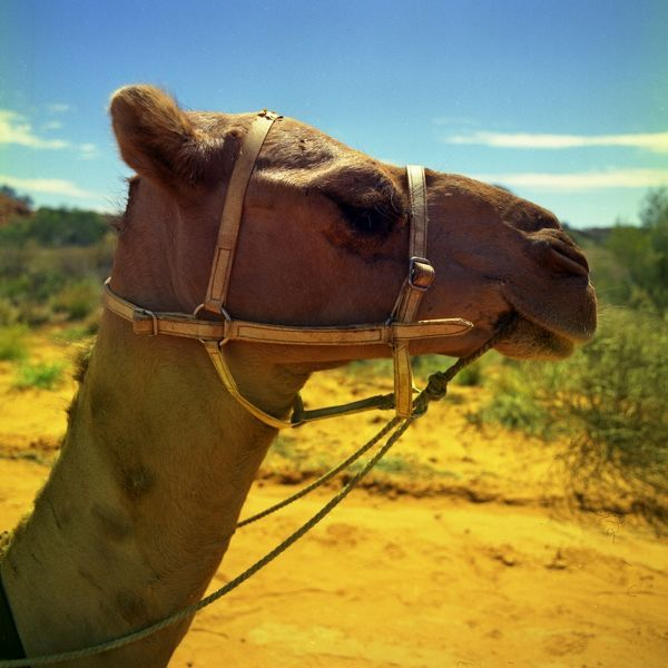 A close up profile of a camel standing on a yellow, dirt road. The camel is wearing a leather bridle and reins. In the background is a scrubby landscape, under a wide blue sky. This image was shot while filming 'Australian Wildlife Series: Camel' 1975