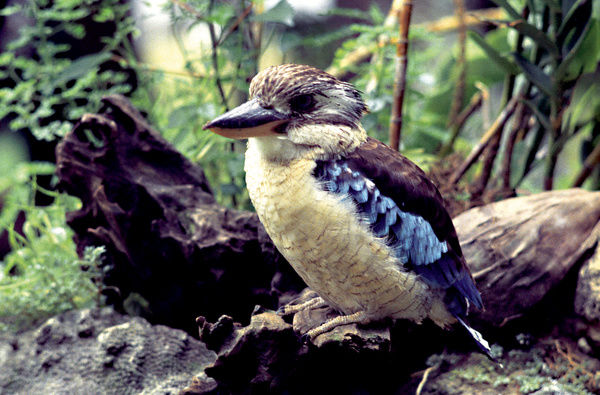 A close up colour portrait of a Kookaburra (tree kingfisher native to Australia and Papua New Guinea) perched on a tree log on the forest floor. This image was shot while filming 'Australian Wildlife Series' 1974