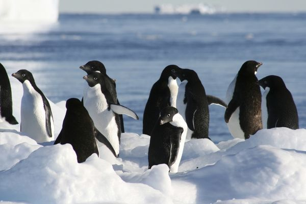 Penguins on an Icebreg. Mawson: Life and Death in Antarctica