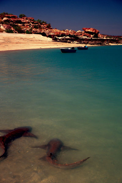 A colour image of two sharks in the shallows of a sandy beach cove in Western Australia