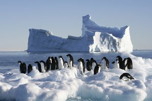 Adelie penguins. Mawson - Life and Death in Antarctica, 2008