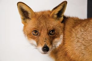 A close up of an alert European red fox with head facing camera
