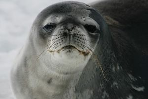 antarctica/close up colour portrait weddell seal antarctica