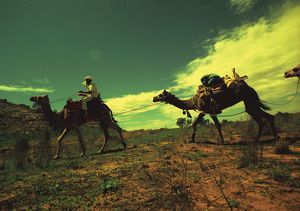 Colour image of a camel train crossing a sparsely shrubbed plain