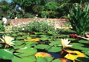 Lilypad garden. Waterplants in Australia, 1990