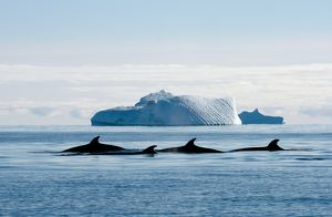 Minke whales. Mawson - Life and Death in Antarctica, 2008.